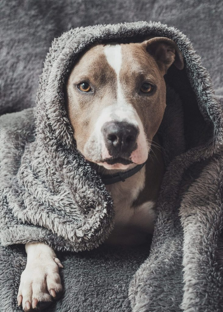 cute brown and white dog under blanket on bed